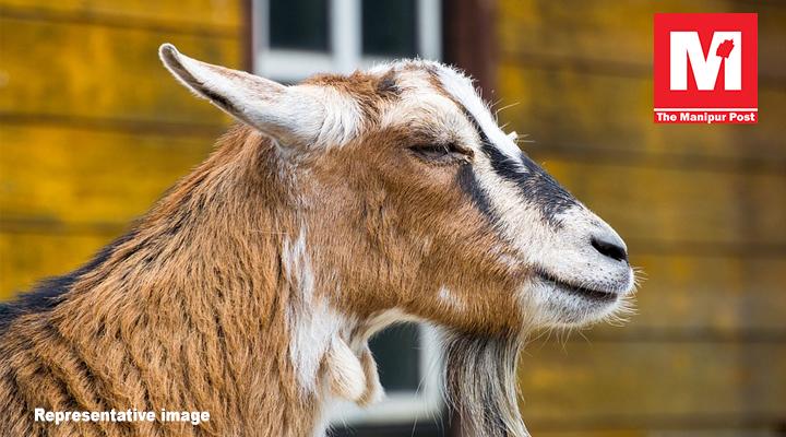 goat, manipur education, manipur school,